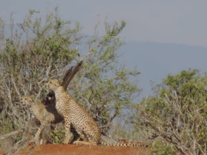 Ein paar Tiere die wir im Nationalpark Amboseli beobachten konnten!!